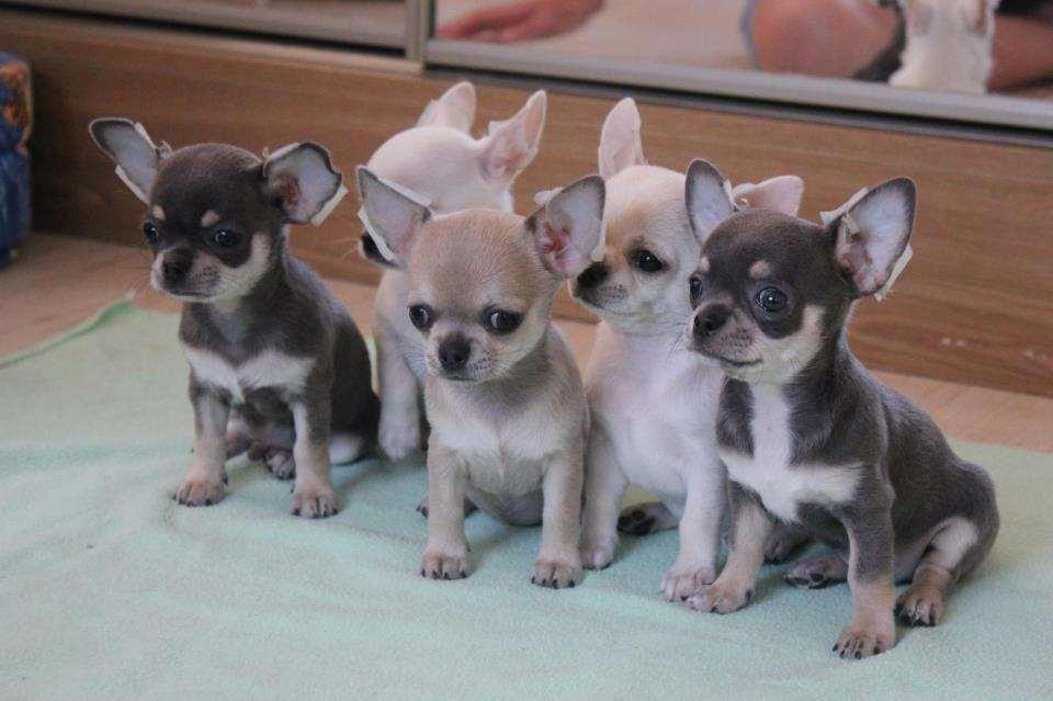 כלבים - ציוואווה