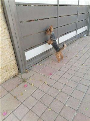 כלבים יורקשייר טרייר חדרה והסביבה