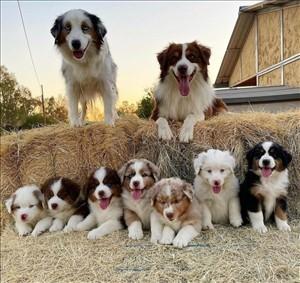 כלבים רועה אוסטרלי אשדוד והסביבה