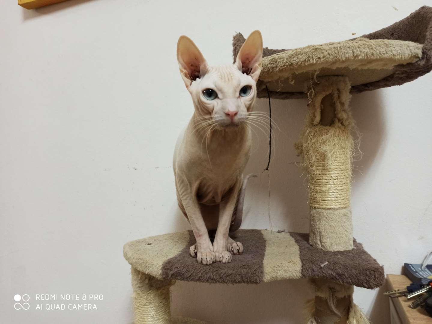 חתולים - ספינקס