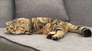 חתולים Scotish Fold