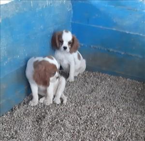 כלבים קבליר קינג צארלס ספנייל