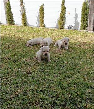 כלבים לברדור רטריבר