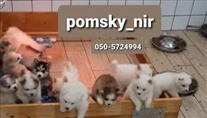 כלבים האסקי סיביר