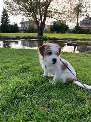 כלבים גק ראסל טרייר השרון והסביבה