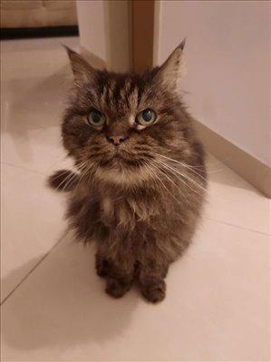 חתולים פרסי