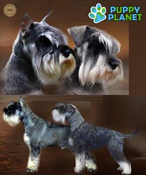 כלבים - שנאוצר