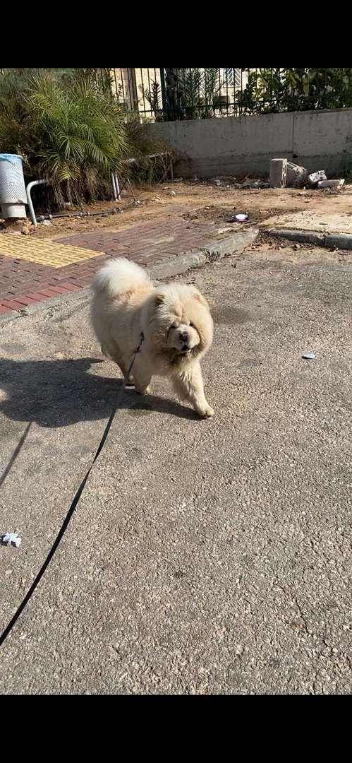 כלבים - צ`או צ`או