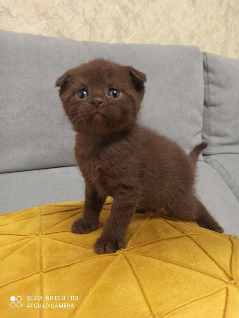 חתולים - סקוטי