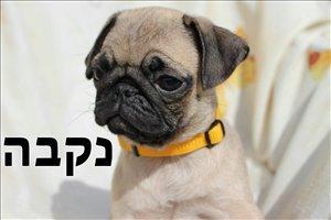 כלבים פאג תל אביב והמרכז