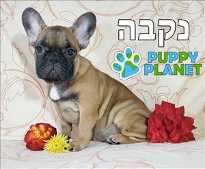 כלבים בולדוג צרפתי תל אביב והמרכז