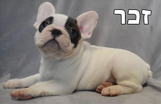 בולדוג צרפתי כלבים - בולדוג צרפתי