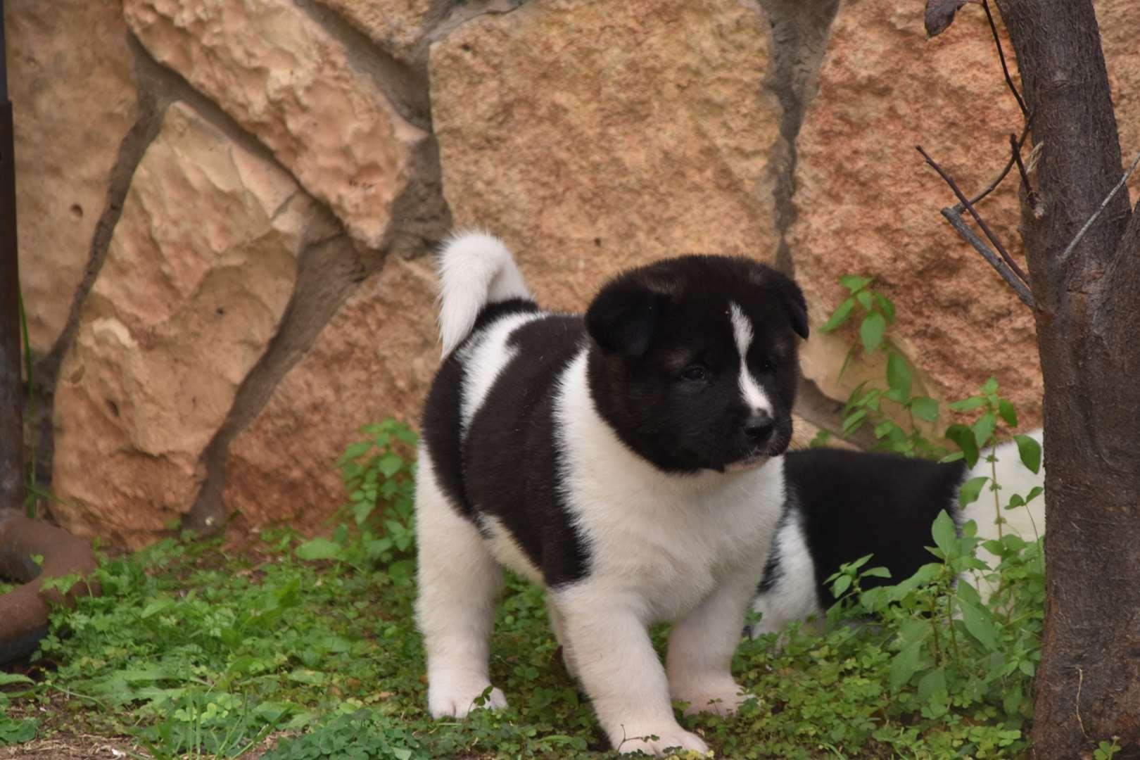 כלבים - אקיטה אמריקאי
