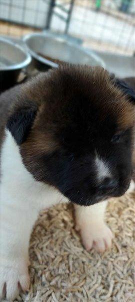כלבים אקיטה אמריקאי אשדוד והסביבה