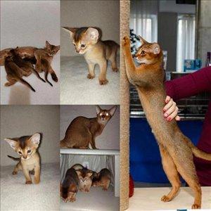 חתולים - אביסיני