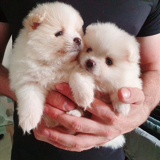 פורמניאן כלבים - פומרניאן
