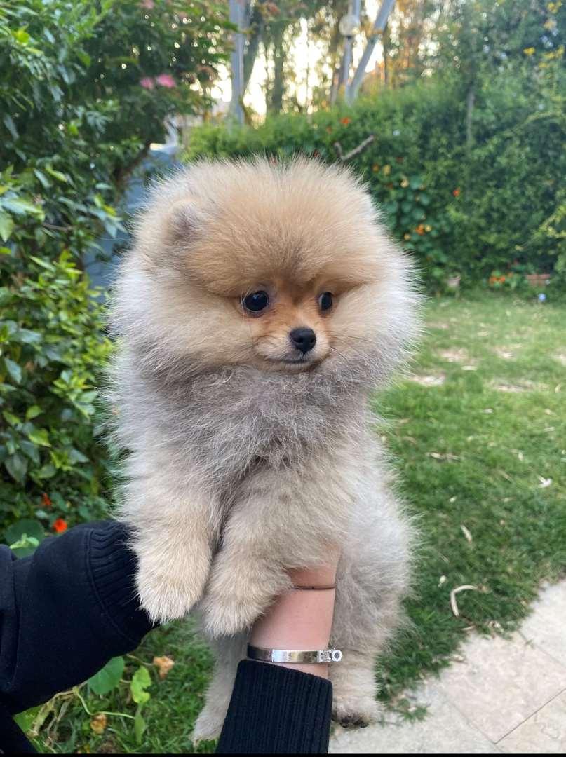 גור כלבים - פומרניאן