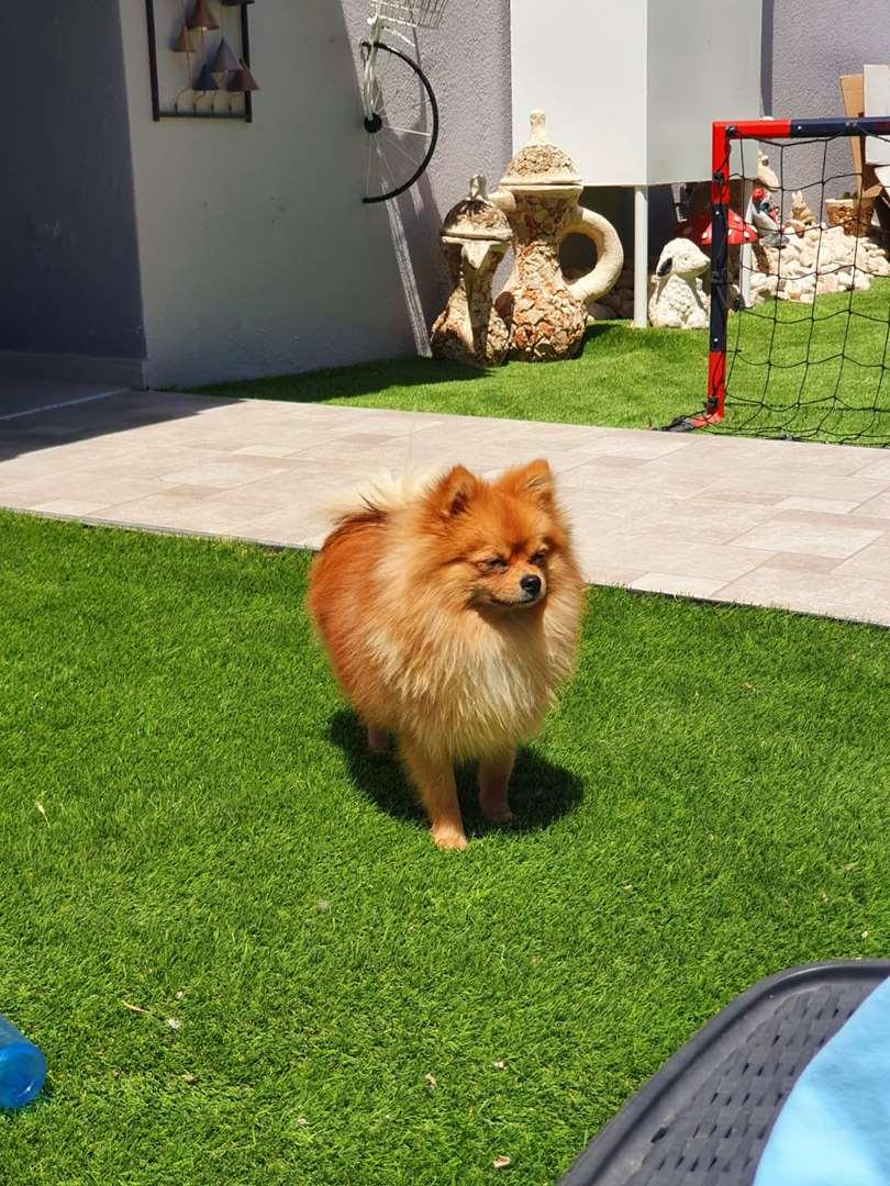 כלבים פומרניאן