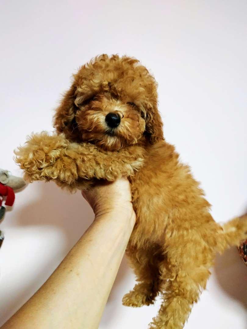 כלבים פודל מודיעין והסביבה