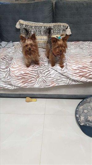 כלבים יורקשייר טרייר ים המלח והבקעה