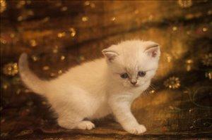 חתולים - Scotish Fold