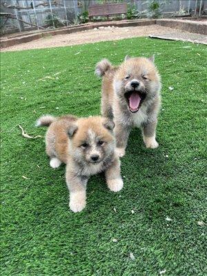 כלבים אקיטה יפני