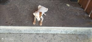 כלבים - גק ראסל טרייר