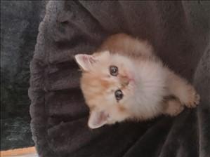 חתולים בריטי קצר שיער חדרה והסביבה