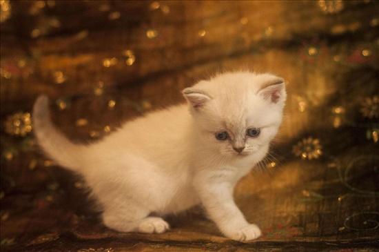 סקוטי סטרייט חתולים - Scotish Fold