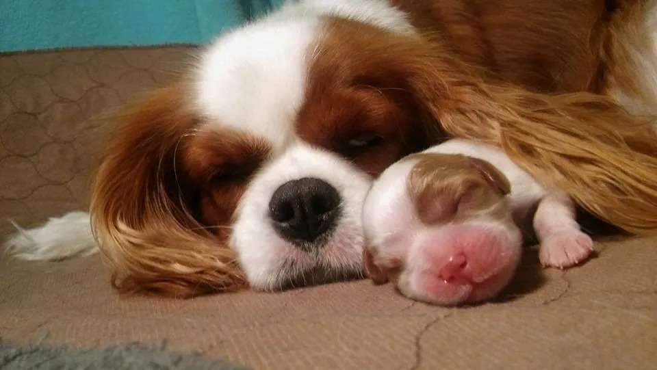 כלבים קבליר קינג צארלס ספנייל מודיעין והסביבה