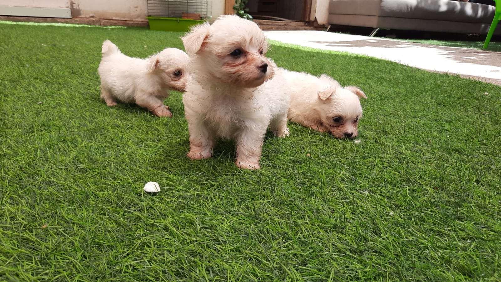 כלבים מלטז
