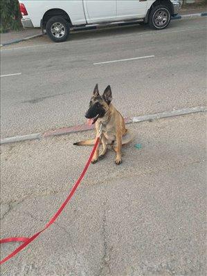 כלבים רועה בלגי תל אביב והמרכז