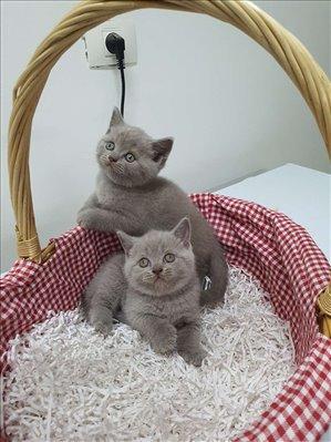 חתולים בריטי קצר שיער