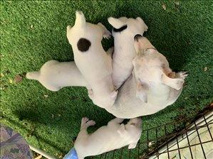 כלבים גק ראסל טרייר