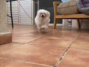 כלבים מלטז חדרה והסביבה