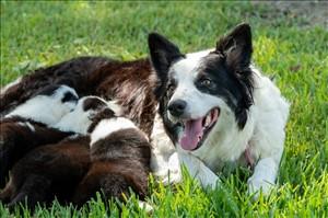 כלבים בורדר קולי