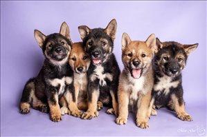 כלבים - שיקוקו יפני