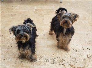 כלבים יורקשייר טרייר תל אביב והמרכז
