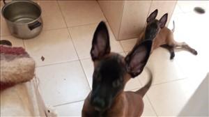 כלבים רועה בלגי