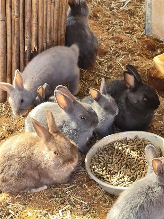 ארנב ננסי הולנדי  מכרסמים - ארנב ננסי