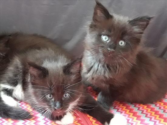 גורים חתולים - מיין קון