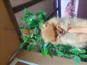 כלבים פומרניאן חדרה והסביבה