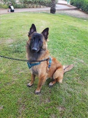 כלבים רועה בלגי מודיעין והסביבה