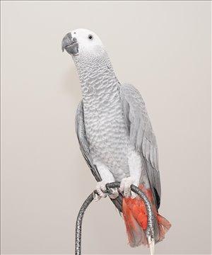 תוכים ובעלי כנף - ז`אקו