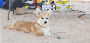 כלבים וולש קורגי פמברוק