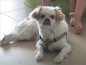 כלבים פקינז מודיעין והסביבה