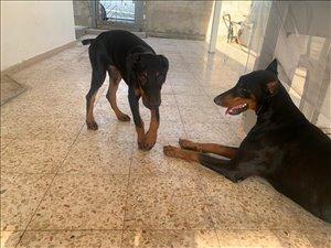 כלבים דוברמן חדרה והסביבה