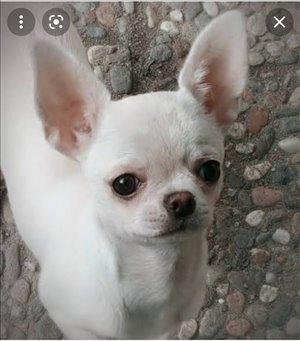 כלבים צ`יוואווה מודיעין והסביבה