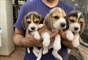 כלבים - ביגל