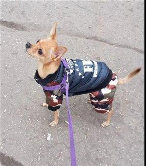 כלבים - פינצ`ר ננסי